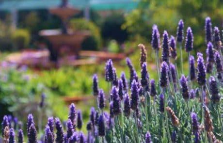 Margaret Roberts Lavender Garden